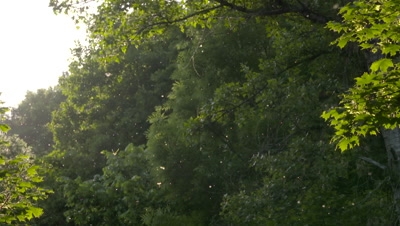 Mayflies swarming in the forest