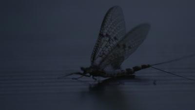 Mayflies swarming at night