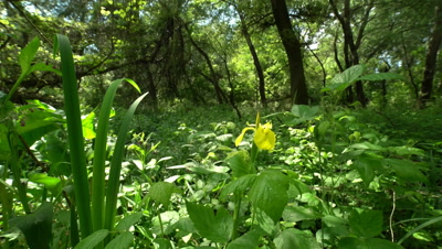 Yellow Iris Iris Pseudacorus In the floodplain forest