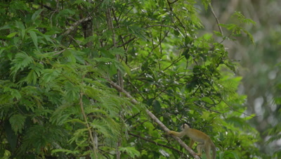 Squirrel monkey, in the Peruvian rainforest