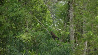 Squirrel monkey in the rainforest