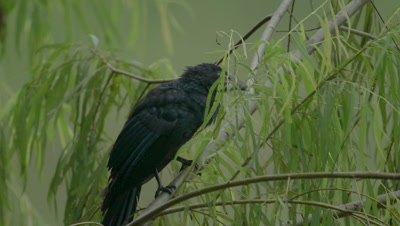 Giant cowbird in the Peruvian rainforest