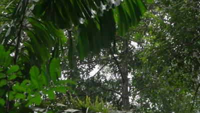 Spider monkey in the preuvian rainforest