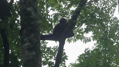 Spider Monkey in the rainforest