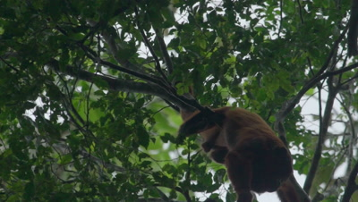 Red Howler Monkey in the rainforest