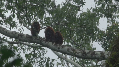 Two Red Howler Monkey in the rainforest