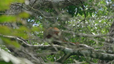 Red Howler Monkey sitting on tree in the rainforest