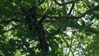 Red Howler Monkey sitting on tree in the rainforest, close-up