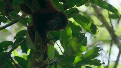 Red Howler Monkey sitting on branch in the rainforest
