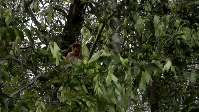 Large Nosed Proboscis Monkey, Among Green Foliage