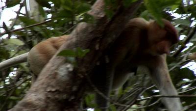 Large Nosed Proboscis Monkey, Among Green Foliage, eating