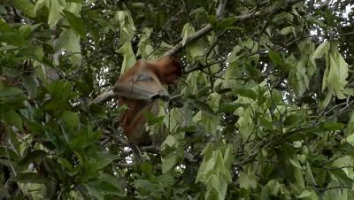 Large Nosed Proboscis Monkey, eating
