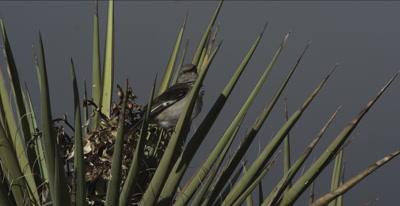 Mockingbird in Yucca plant