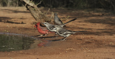 Four Mockingbirds and Cardinal drinking