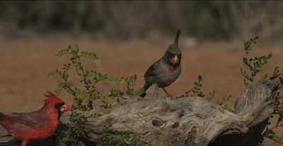 Pyrrhuloxia and Cardinal
