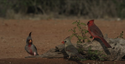 Pyrrhuloxia and Cardinals