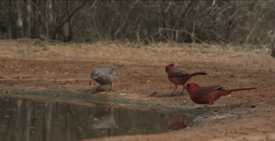 Curved-billed Thrasher and Cardinals