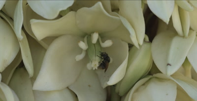 Yucca Flower and Bee
