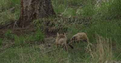 vixen and badger fight