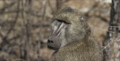 male chacma baboon sitting, looking around, tight (head and shoulders)