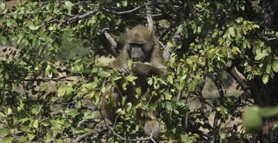male chacma baboon eating mopani leaves