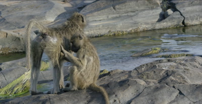 chacma baboons 1 picking fleas off another, close