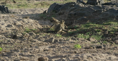 chacma baboons young one chase another young one and pulls it by the tail