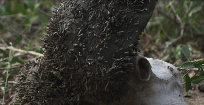 male cape buffalo skull with fungi that looks like larva or maggots, wide