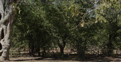 knarled strangler fig tree trunk