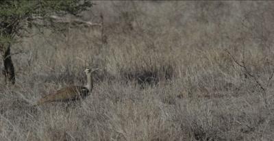 kori bustard walking and hunting