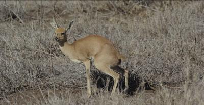 female steenbok defecating