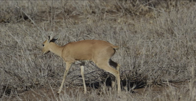 female steenbok walking and browsing
