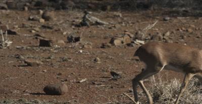 female steenbok grazing