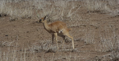 female steenbok defecating and then grazing