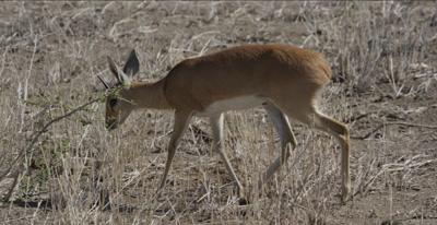 male steenbok walking, grazing