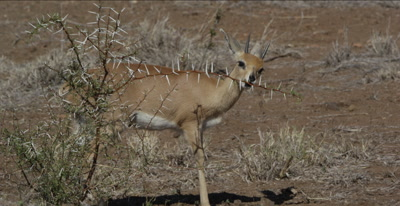 male steenbok browsing leaves on a thorn tree
