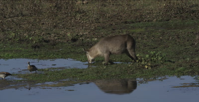 female bushbuck drinking