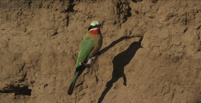 white-fronted bee-eaters, 1 on a tree root looking around close up, another landing on same root with insect, eats it