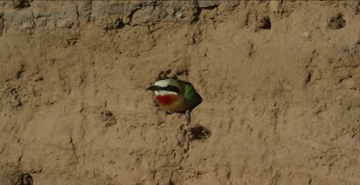 white-fronted bee-eaters, 1 looking out of hole, flies