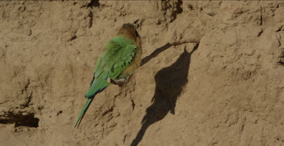 white-fronted bee-eaters, 1 on a tree root looking around, another one comes and they cuss each other