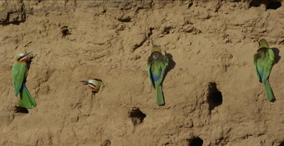 white-fronted bee-eaters, 3 hanging on clay, 1 looking out nest hole,1 flies