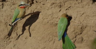 white-fronted bee-eaters, 1 on a tree root looking around, another on clay, another comes and fast fight