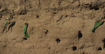 white-fronted bee-eaters, 1 on a tree root looking around, 2 at  nest holes, 1 in nest hole, 1 flies