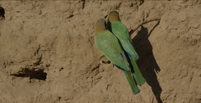 white-fronted bee-eaters, 2 on a tree root looking around sitting close to each other, 1 flies