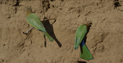 white-fronted bee-eaters, slow-motion, mated pair, 1 sitting on tree root, 1 digging nest hole, both flies separately and come back, another 1 comes in and all 3 fight