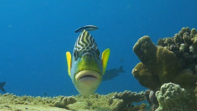 Diagonal banded sweetlips on a coral reef in Philippines. Cleaning station