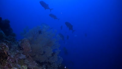 School of Giant Trevallies and Whitetip Reef Sharks on a coral reef