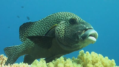A Cleaner fish provide his service to a Harlequin sweetlip.