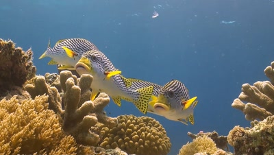 Diagonal banded sweetlips on a coral reef in Philippines.