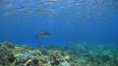 School of Fusilier with Trevallies on a coral reef